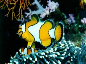 Perry's clown fish