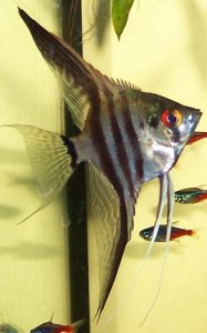 Angel Fish at Perry's