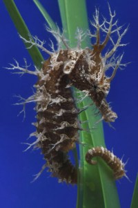 Lined_seahorse