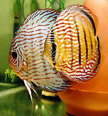 Perry's Tropical Fish Discus