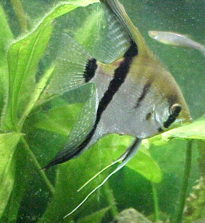 angelfish06G