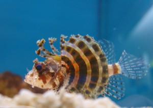 Marine Fish of the Day – Lionfish