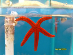 Invertebrate of the Day – Red Starfish