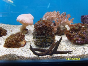 Perry's starfish