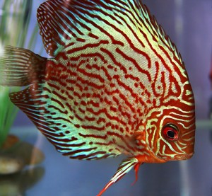 aquarium discus tropical fish