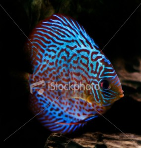 Tropical Fish of the Day – Discus