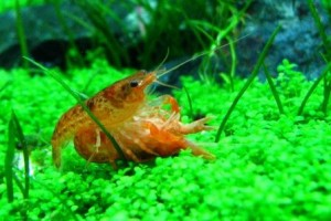 Invertebrate of the Day – Flame Lobster