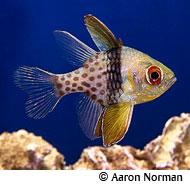 pajama-cardinal Marine Fish