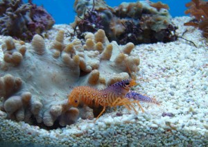 Aquatic purple reef lobster - Lincolnshire