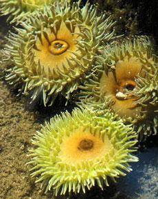 sea-anemone Lincolnshire Aquatics