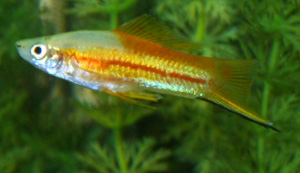 Tropical Fish of the Day – Swordtail