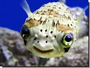 Porcupine Fish Puffer