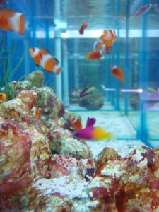 How to Keep Clown Fish in an Aquarium