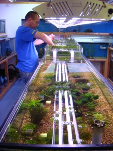 aquarium plants - lincoln