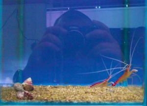 Lysmata Amboinensis, Scarlet Cleaner Shrimp