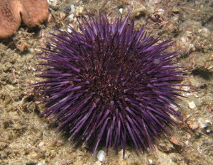 Introducing Sea Urchin to your Marine Aquarium