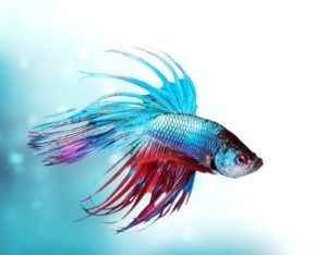 Fighting Fish – The Facts and Myths 2017